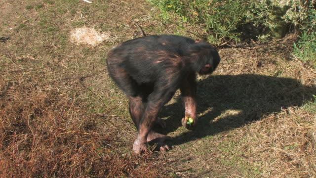 チンパンジーのフィールド - 一匹点の映像素材/bロール