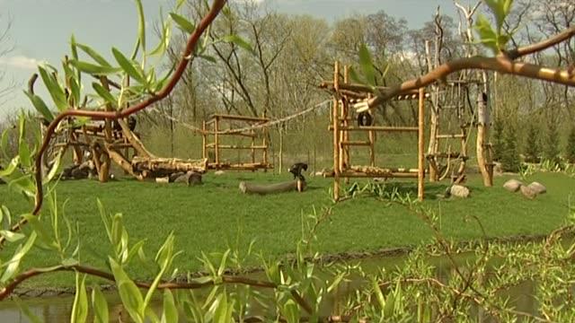 vidéos et rushes de chimpanzee in zoo - brindille