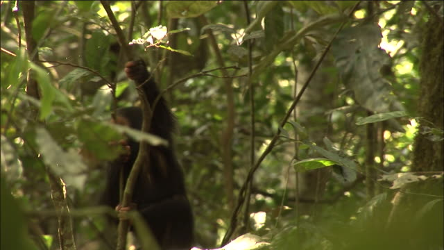 chimpanzee infant clambers in forest, kibale, uganda - common chimpanzee stock videos & royalty-free footage