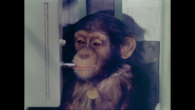 vídeos y material grabado en eventos de stock de chimpanzee is fed and watered while strapped into a machine with a metal ring around its throat, pressing a lever to correspond with lights on a panel - chimpancé