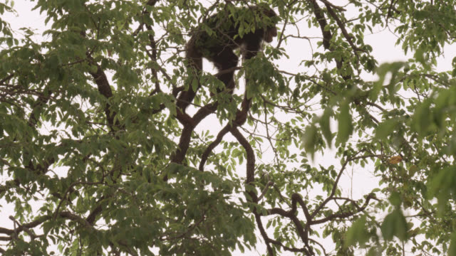 chimpanzee (pan troglodytes) leaps and falls from tree, senegal - failure stock videos & royalty-free footage