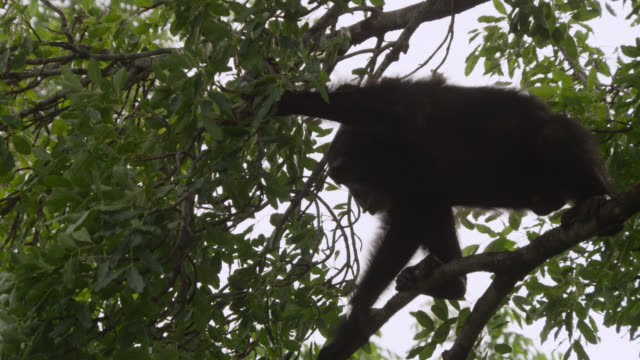 chimpanzee (pan troglodytes) leaps between trees in forest, senegal - common chimpanzee stock videos & royalty-free footage
