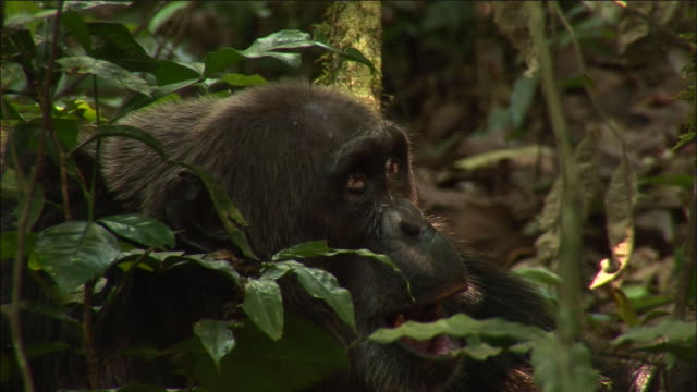 chimpanzee looks around and yawns during hunt in forest, kibale, uganda - chimpanzee stock videos & royalty-free footage
