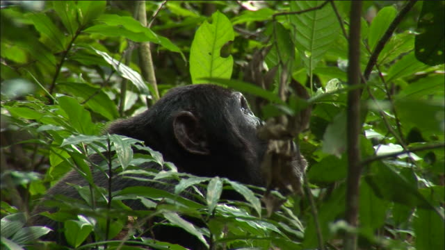 vídeos y material grabado en eventos de stock de chimpanzee looks around during hunt in forest, kibale, uganda - chimpancé común
