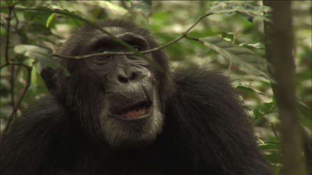 vídeos y material grabado en eventos de stock de chimpanzee looks around in forest, kibale, uganda - chimpancé común