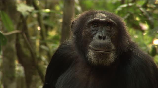 chimpanzee looks around in forest, kibale, uganda - common chimpanzee stock videos & royalty-free footage