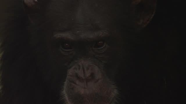 stockvideo's en b-roll-footage met chimpanzee (pan troglodytes) looks around in forest, senegal - dierenkop