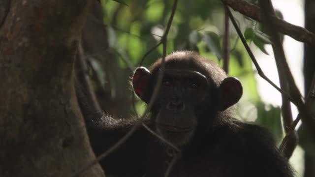 chimpanzee (pan troglodytes) looks around in forest, senegal - common chimpanzee stock videos & royalty-free footage