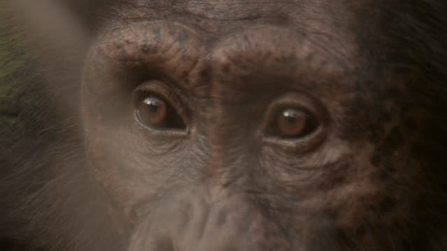 chimpanzee (pan troglodytes) looks around in forest, senegal - animal eye stock videos & royalty-free footage