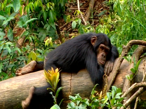 stockvideo's en b-roll-footage met ms chimpanzee lying awake on log, pan right to three other sleeping chimpanzees - stille