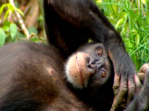 vídeos y material grabado en eventos de stock de cu chimpanzee lying down with arm resting on head, gazing to camera - chimpancé común