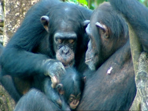 stockvideo's en b-roll-footage met chimpanzee (pan troglodytes) mother and very young baby sitting in tree, another grooms baby, sierra leone - dierenverzorging