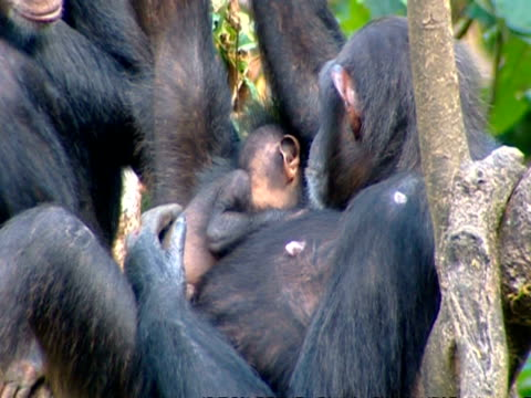 ms chimpanzee mother lying in tree hugging 6 week old baby, lifts baby and dangles it above her body - tree hugging stock videos & royalty-free footage