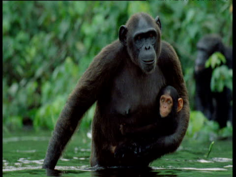 chimpanzee mother wades through shallow water, cradling her infant, congo - animal family video stock e b–roll