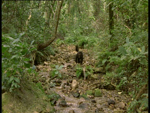 Chimpanzee moves aggressively to camera through bed of river