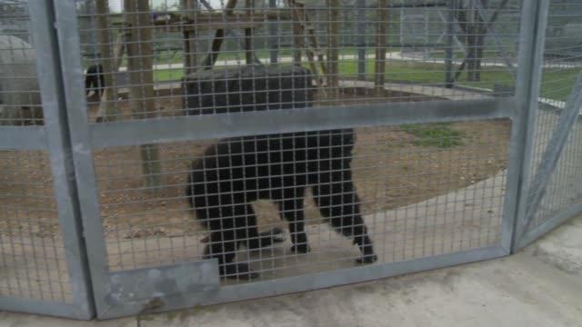 vídeos y material grabado en eventos de stock de chimpanzee offered banana by caregiver, lets caregiver pet chimpanzee - chimpancé