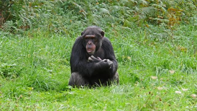 chimpanzee, pan troglodytes, adult sitting, real time 4k - 一匹点の映像素材/bロール