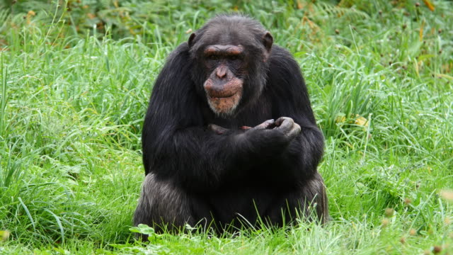 chimpanzee, pan troglodytes, adult sitting, real time 4k - chimpanzee stock videos & royalty-free footage