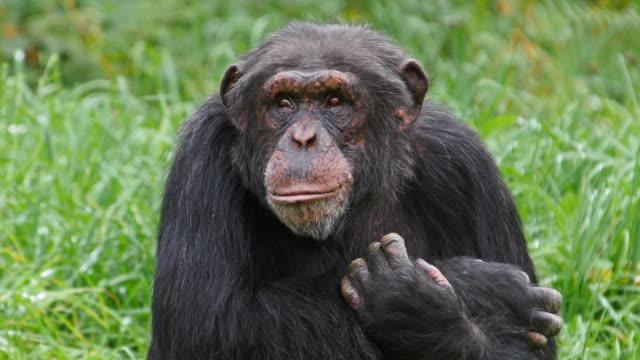 vidéos et rushes de chimpanzee, pan troglodytes, portrait of adult, real time 4k - chimpanzé