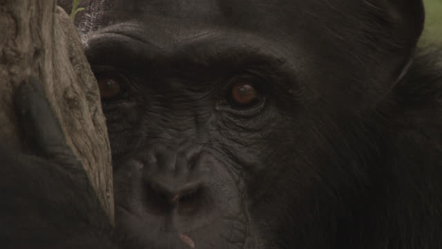 vidéos et rushes de chimpanzee (pan troglodytes) peers from behind tree in forest, senegal - faune sauvage