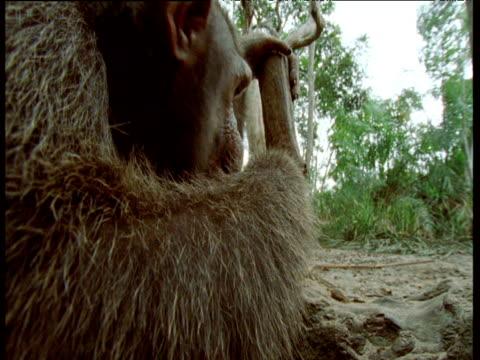 vídeos y material grabado en eventos de stock de chimpanzee peers into camera as it chews a nut it has just cracked, congo - chimpancé común