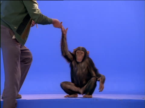 chimpanzee performs for a treat from its trainer - chimpanzee stock videos & royalty-free footage