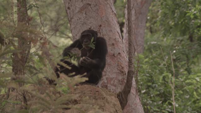 chimpanzee (pan troglodytes) prepares twig for termite fishing, senegal - twig stock videos & royalty-free footage