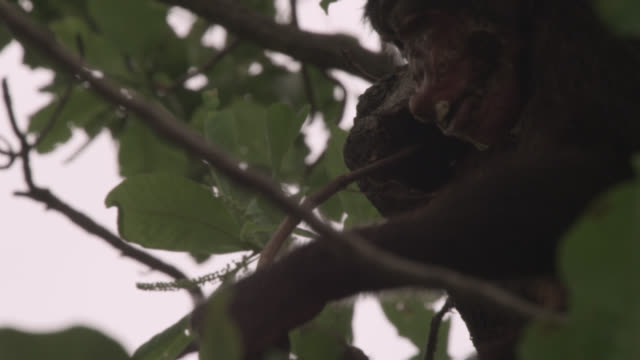 chimpanzee (pan troglodytes) probes tree hole with stick, senegal - chimpanzee stock videos & royalty-free footage