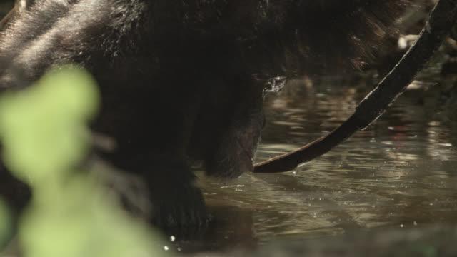 chimpanzee (pan troglodytes) relaxes in forest pool, senegal - common chimpanzee stock videos & royalty-free footage