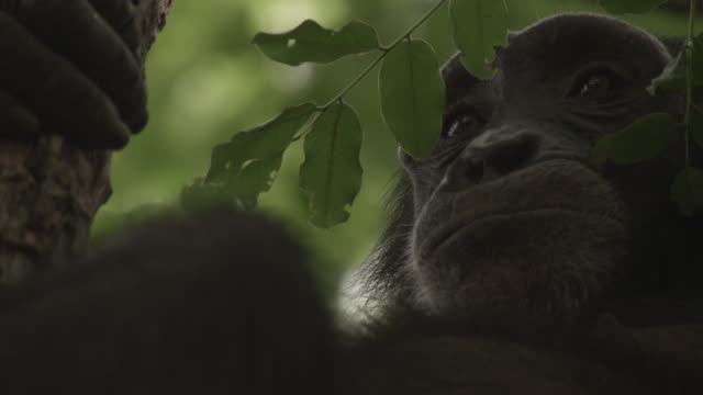 chimpanzee (pan troglodytes) relaxes in forest, senegal - common chimpanzee stock videos & royalty-free footage