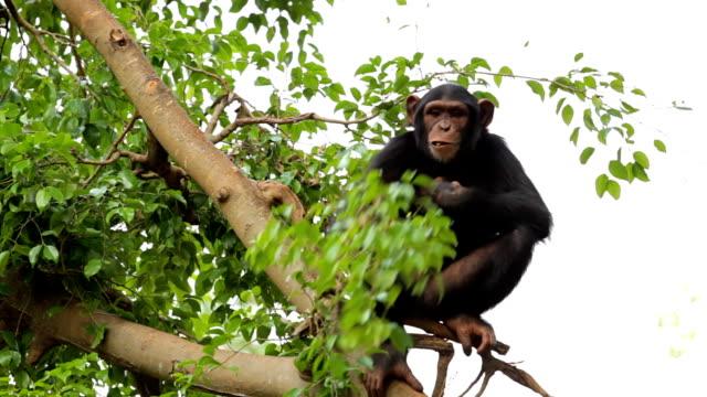 chimpanzee resting on the tree. - chimpanzee stock videos & royalty-free footage