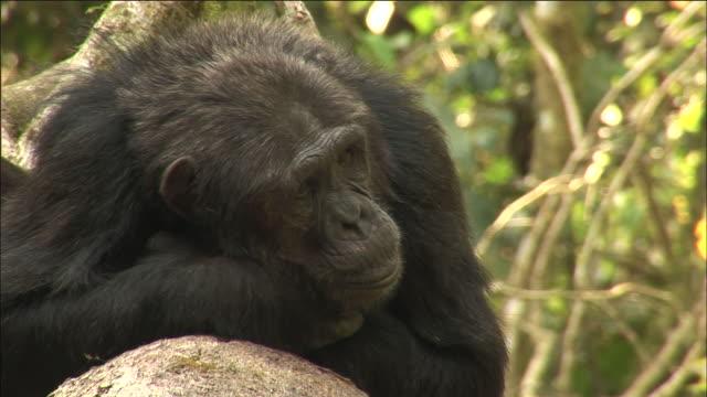 vídeos y material grabado en eventos de stock de chimpanzee rests in forest, kibale, uganda - chimpancé común