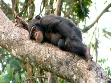 chimpanzee (pan troglodytes) rests on tree branch with a steep incline, sierra leone - animals in the wild bildbanksvideor och videomaterial från bakom kulisserna