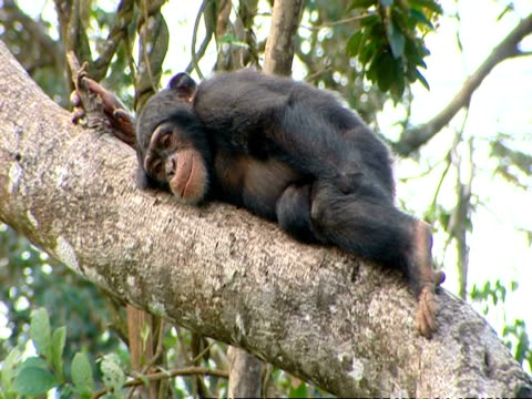 chimpanzee (pan troglodytes) rests on tree branch with a steep incline, sierra leone - faulheit stock-videos und b-roll-filmmaterial