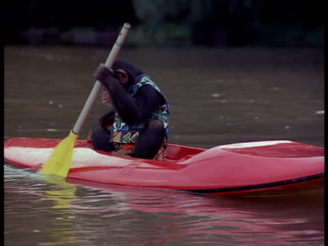 chimpanzee rows boat down river. - rowing boat stock videos & royalty-free footage