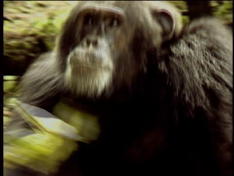 vídeos y material grabado en eventos de stock de cu, ms, chimpanzee (pan troglodytes) running in forest, gombe stream national park, tanzania - parque nacional de gombe stream