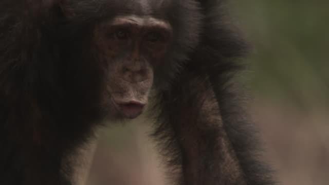 chimpanzee (pan troglodytes) runs and calls in forest, senegal - chimpanzee stock videos & royalty-free footage