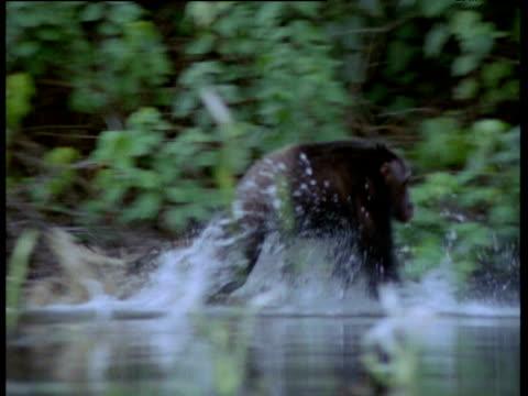 Chimpanzee runs splashing through shallow water, Congo