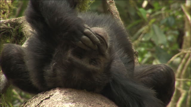 chimpanzee scratches itself and sniffs its hand, kibale, uganda - common chimpanzee stock videos & royalty-free footage