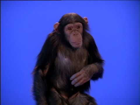 vídeos y material grabado en eventos de stock de chimpanzee scratching its chest - chimpancé común