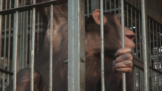 MS ZI Chimpanzee screaming in cage / Ngamba Chimp Sanctuary, Ngamba Island, Uganda