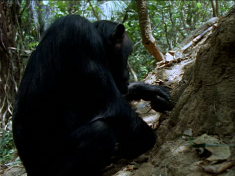 ms, cu, chimpanzee sitting in front of termite mound in forest, using twig to catch and eat termites, gombe national park, tanzania  - twig stock videos & royalty-free footage