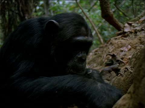 vidéos et rushes de cu, chimpanzee sitting in front of termite mound in forest, using twig to catch termites, gombe national park, tanzania  - chimpanzé