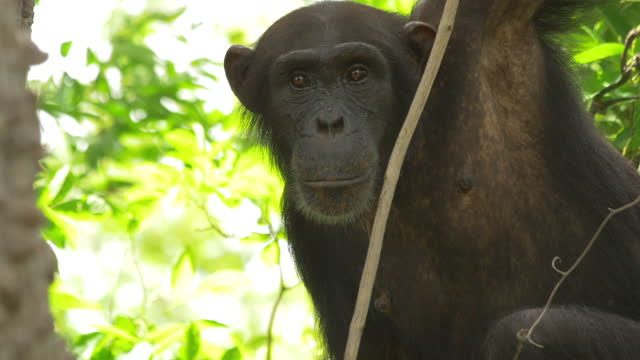 la cu chimpanzee sitting in tree and looking around - alertness stock videos & royalty-free footage
