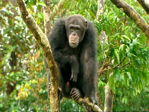vidéos et rushes de mcu chimpanzee sitting in tree in rain, rocking its head - bercement