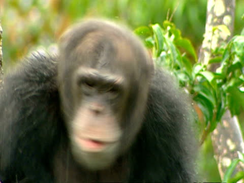 cu chimpanzee sitting in tree in rain, shaking head - shaking stock videos & royalty-free footage