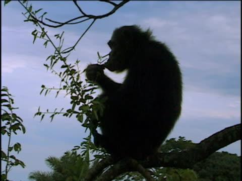 vídeos y material grabado en eventos de stock de ms, chimpanzee (pan troglodytes) sitting on limb and eating leaves, gombe stream national park, tanzania - parque nacional de gombe stream