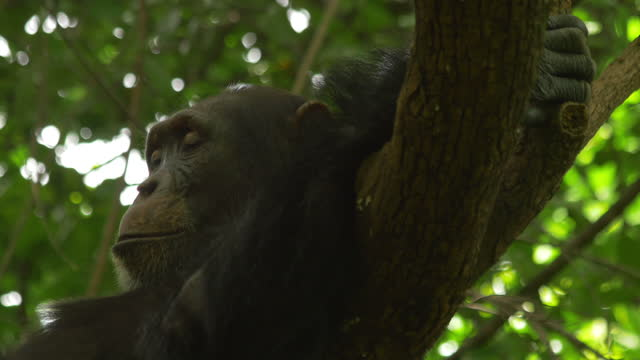 cu chimpanzee sleeping on branch with hands behind its head comically - lying on back stock videos & royalty-free footage