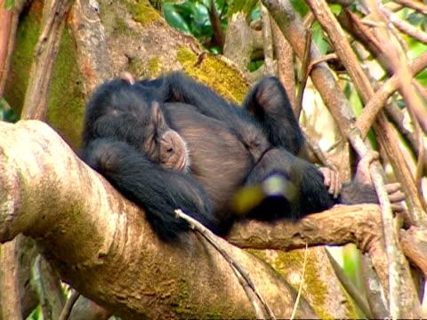 vídeos y material grabado en eventos de stock de chimpanzee (pan troglodytes) sleeps in tree, sierra leone - chimpancé común