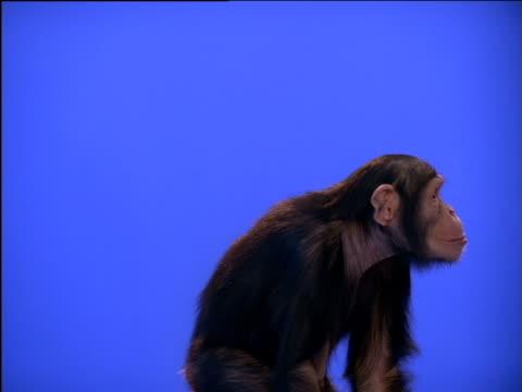 Chimpanzee slowly rising to its feet